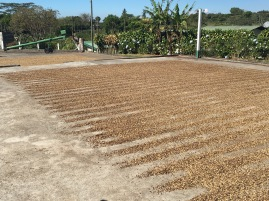 Rows of drying beans