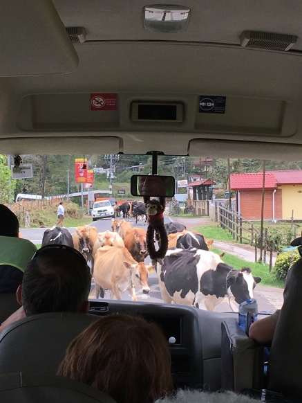 Traffic jam when the cows come home