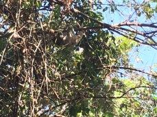 Slinking sloth