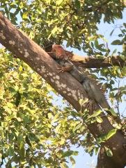 Iguana in Quepos